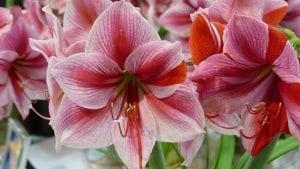 Amaryllis als voorjaarsplant