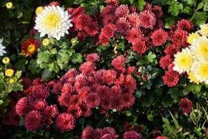 Chrysanten als tuinplant
