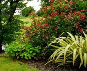 Graslelie in de tuin