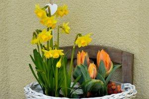 Narcissen als voorjaarsplanten