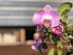 Orchidee als voorjaarsplant