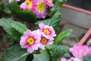 Primula als voorjaarsplant