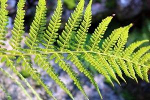 Varen als tuinplant