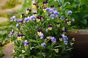 Viooltjes in het voorjaar