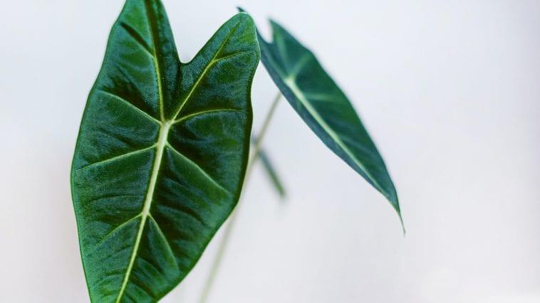 Alocasia kamerplant